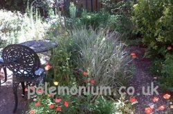 Polemonium Plantery Garden