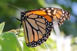 Save Our Butterflies